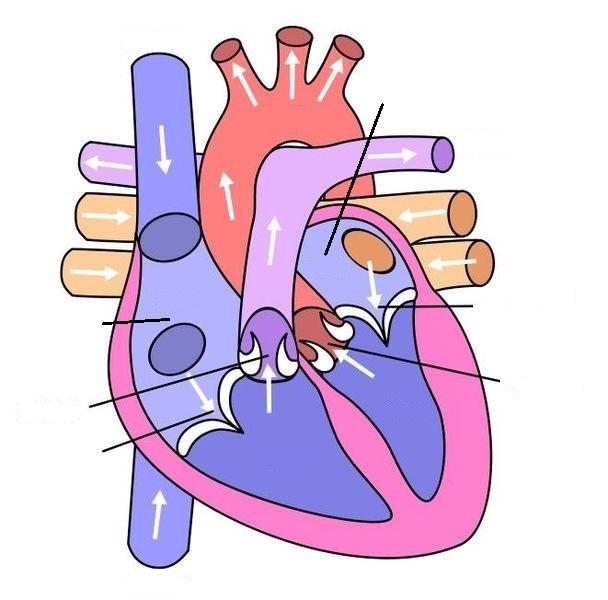 Het menselijk hart